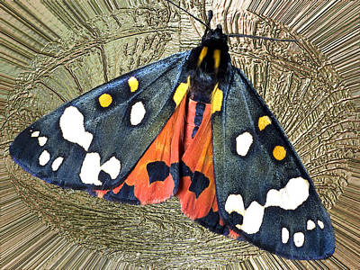 Photograph - Divinity Gold - Great Tiger Moth by Richard Thomas