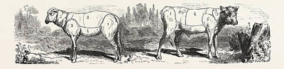 Divisions Drawing - Division Sheep Left Division Calf Right by English School