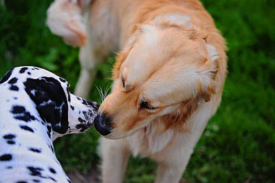 Photograph - Do I Know You ? Meet Up With Friend.  Kokkie. Dalmation Dog by Jenny Rainbow