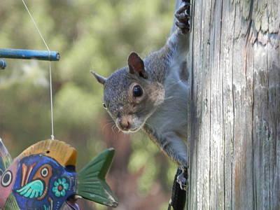 Photograph - Sneaky Squirrel by Belinda Lee
