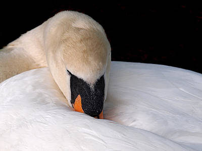 Photograph - Do Not Disturb - Swan On Nest by Gill Billington