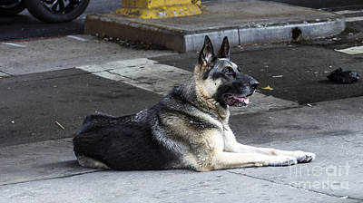 Photograph - German Shepherd by Mark Thomas