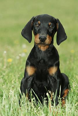 Doberman Pinscher Puppy Photograph - Doberman Pinscher Puppy by Johan De Meester
