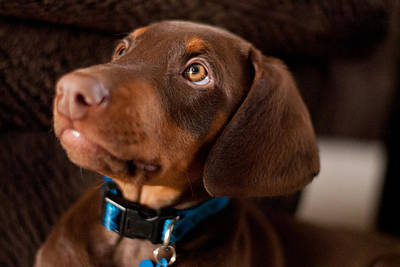Doberman Pinscher Puppy Photograph - Doberman Puppy by Cynthia Stephens