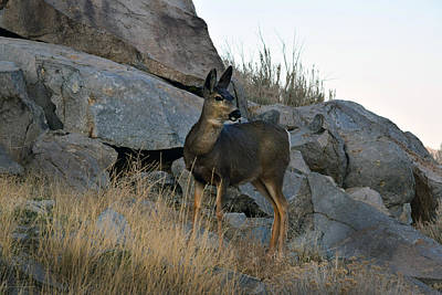 Photograph - Doe Among Rocks by Frank Wilson
