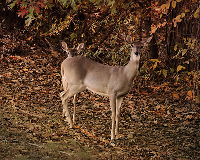 Two Deer Photograph - Doe And Fawn - Deer - Wildlife by Jai Johnson