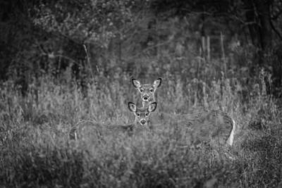 Whitetail Fawn Photograph - Doe And Yearling Fawn by Thomas Young