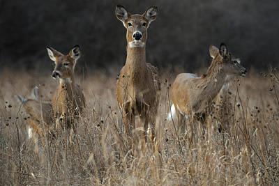 Deer Photograph - Doe And Yearlings by Garett Gabriel