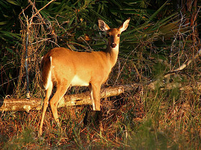 Photograph - Doe At Sunset. Lake Kissimmee S.p. by Chris  Kusik