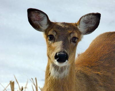 Photograph - Doe-eyed by Jean Wright