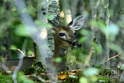 Photograph - Doe In Hiding by Butch Lombardi