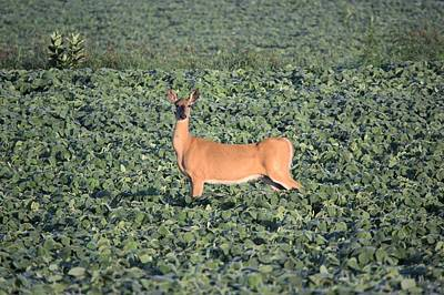 Photograph - Doe In Soybeans by Bonfire Photography