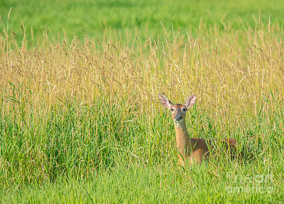 Photograph - Doe In The Field by Cheryl Baxter
