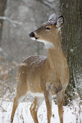 Photograph - Doe In The Snow by Larry Bohlin