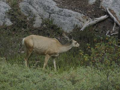 Photograph - Doe Mule Deer Feeding by Don Kreuter