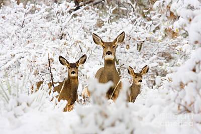 Mule Deer Herd Photograph - Doe Mule Deer In Snow by Steve Krull