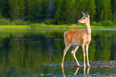 Doe Photograph - Doe by Sebastian Musial