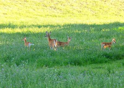 Triplet Photograph - Doe With Triplets by Will Borden