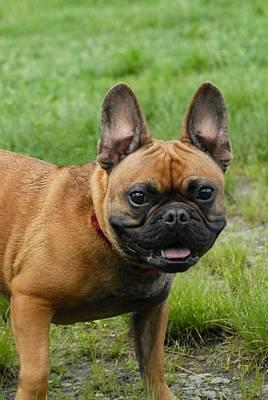 Adorable French Bulldog Puppy Photograph - Dog 169 by Joyce StJames