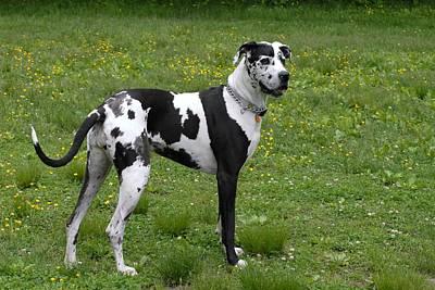 Harlequin Great Dane Photograph - Dog 170 by Joyce StJames