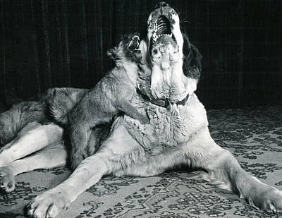 Dog And Puppy Howling Print by Retro Images Archive