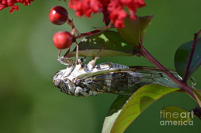 Dog Day Cicada Art Print by Kathy Gibbons
