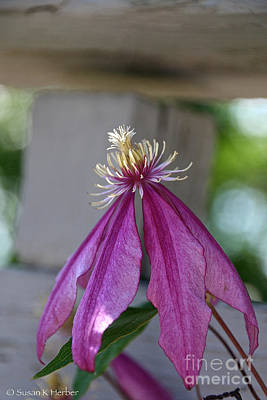 Photograph - Dog Eared Clematis by Susan Herber