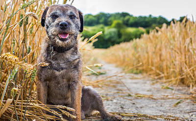 Photograph - Dog In A Wheat Field by Gary Gillette
