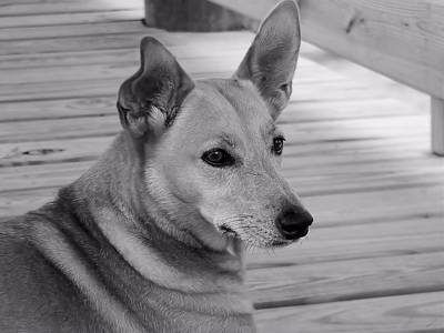 Photograph - Dog In Black And White One by Kathy K McClellan