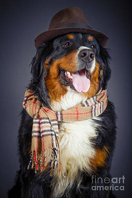 Bernese Mountain Dog Photograph - Dog In Scarf And Hat by Aleksey Tugolukov