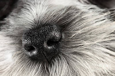 Miniature Schnauzer Photograph - Dog Nose  by Stephanie Frey