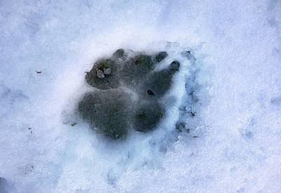 Dog Tracks Photograph - Dog Paw Print In The Snow by Cordelia Molloy
