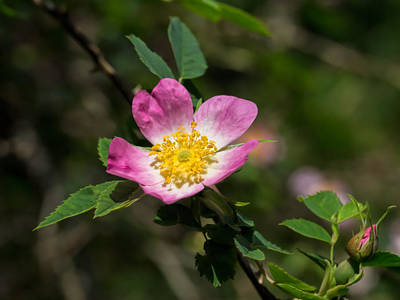 Art Print featuring the photograph Dog-rose by Leif Sohlman