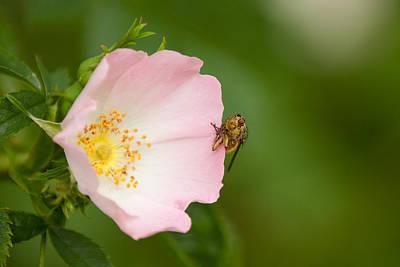 Buy Dog Art Photograph - Dog Rose With Fly by Izzy Standbridge