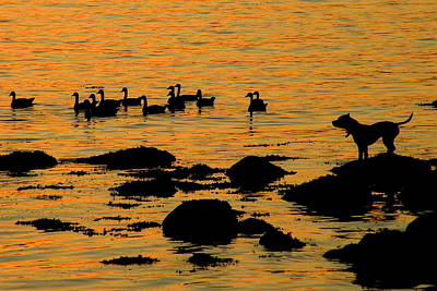 Dog Watching Geese At Sunset Art Print by Brian Chase