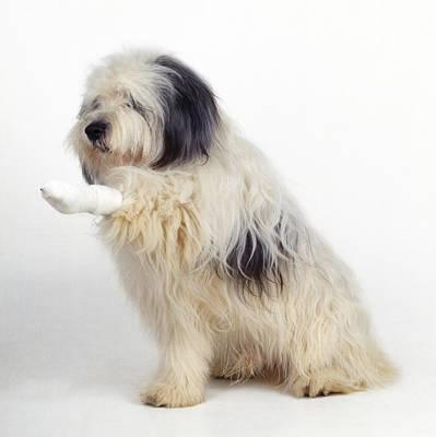 Dog With Bandaged Leg Art Print by John Daniels