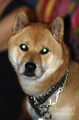 Shiba Inu Photograph - Dog With Eyeshine by Scott Camazine