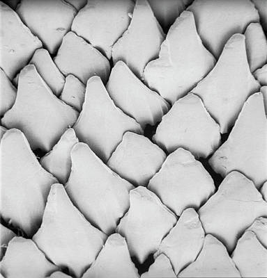Electron Micrograph Photograph - Dogfish Scales by Natural History Museum, London