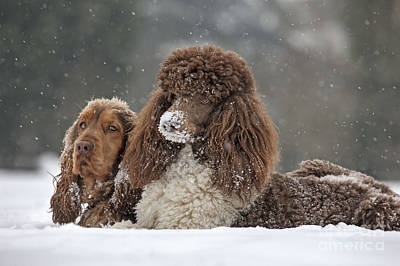 Dog In Snow Photograph - Dogs In Snow by Johan De Meester