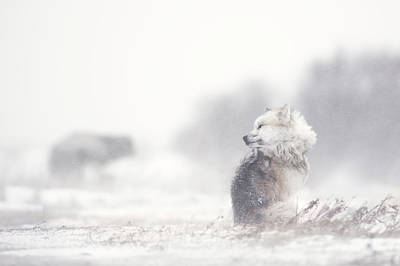 Cold Wall Art - Photograph - Dogs In The Storm by Marco Pozzi
