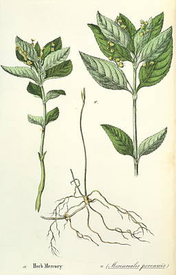 Dog's Mercury Art Print by Sheila Terry/science Photo Library