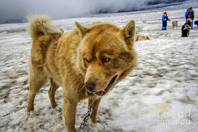 Photograph - Dogsledding Dog by Patricia Hofmeester