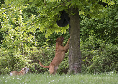 Attack Dog Photograph - Dogue De Bordeaux Chasing Man by Jean-Michel Labat