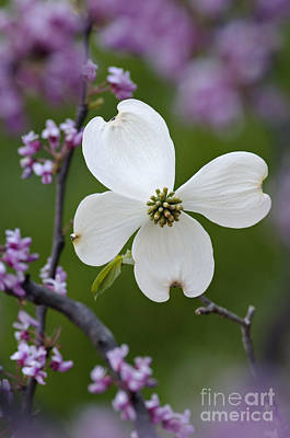 Photograph - Dogwood And Redbud - D008979 by Daniel Dempster