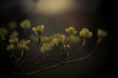 Dogwood Photograph - Dogwood At Dusk by Shane Holsclaw