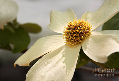 Photograph - Dogwood Bloom by Alice Cahill