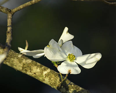 Photograph - Dogwood Bloom In Filtered Light by Michael Dougherty