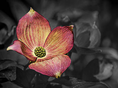 Photograph - Dogwood Bloom by Ron Roberts
