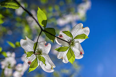 Photograph - Dogwood Blooms And Blue Sky by Lori Coleman