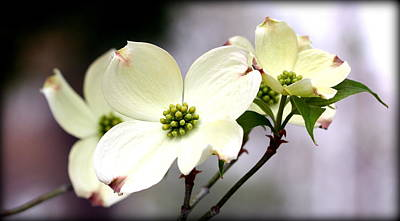 Photograph - Dogwood Blooms by Susie Weaver